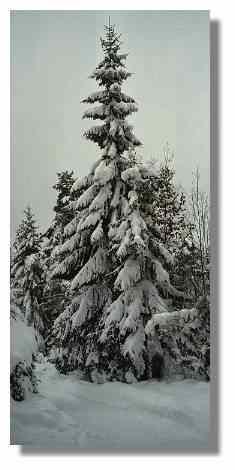 [Foto:wintertanne.jpg]